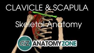 Clavicle and Scapula - Shoulder Girdle - Anatomy Tutorial
