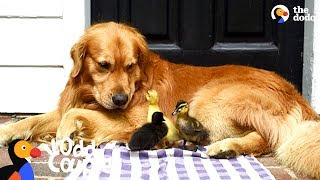 Dog Is Mom To A Family Of Ducklings | The Dodo Odd Couples