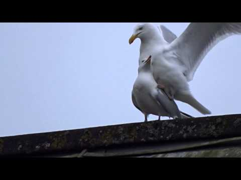 Seagull sex act