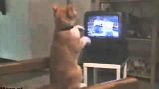 Смотреть онлайн Кот аристократ любит смотреть бокс