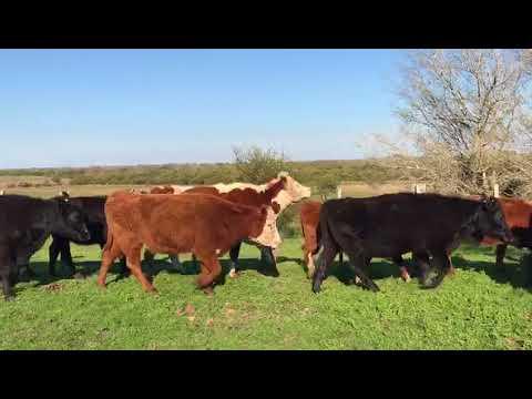 Afiche 100 Vaquillonas Vacas Preñadas  - Salto