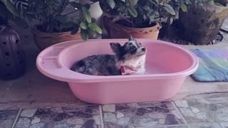 Глисты у собаки уже на канале   Читайте описание   Чихуахуа Софи