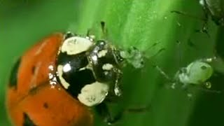 Amazing! Aphid cloning - Battle of the Animal Sexes - BBC Wildlife