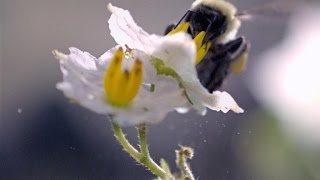 Slo-Mo Footage Of A Bumble Bee Dislodging Pollen
