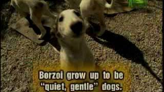 Borzoi (Dog)