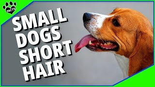 Small Dog Breeds With Short Hair