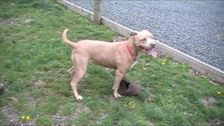 Goosey Adult Staffordshire Terrier
