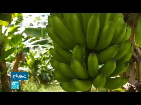 العرب اليوم - شاهد: الموز متهم بتسميم الأرض والسكان في