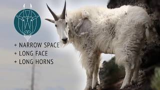 Identifying Billies & Nannies - An Educational Film from the Rocky Mountain Goat Alliance