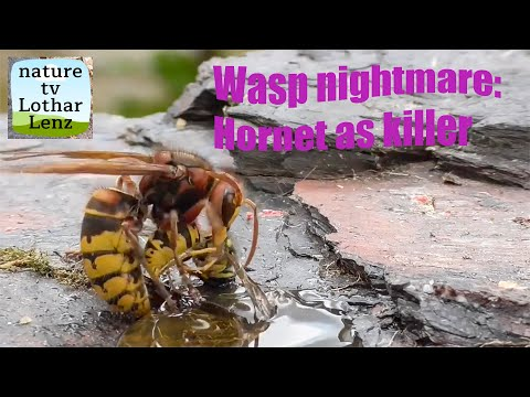 Hornet being a prick to a load of wasps
