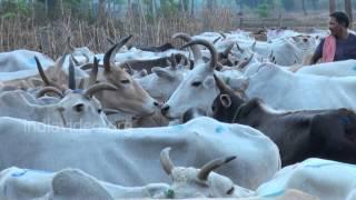 Cattle Market, Srikakulam, Andhra Pradesh