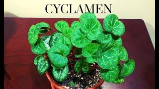 Growing Cyclamen Care and Recovery
