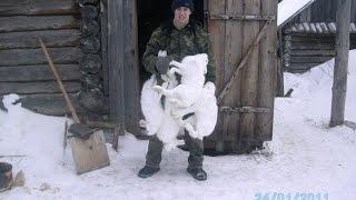 Ловля зайца беляка петлями