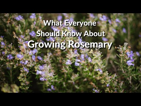 Video Wonderful Rosemary: Care Tips, Uses & What You Need To Know