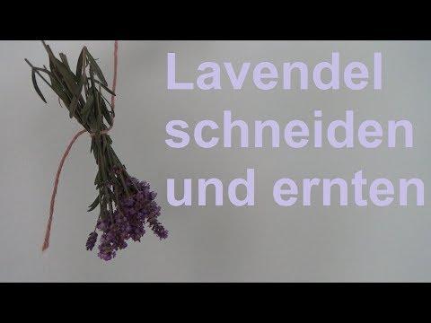 Lavendel ernten Lavendel schneiden im August Lavendel trocknen Rückschnitt Ernte Zeitpunkt