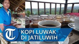 Nikmatnya Menyesap Kopi Luwak Asli di Kawasan Perbukitan Jatiluwih