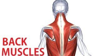 Back Muscles Anatomy - Trapezius, Latissimus, Rhomboid Anatomy