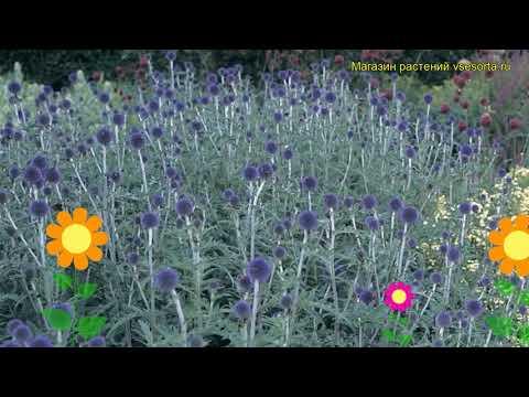 Мордовник обыкновенный Вейтчс Блю. Краткий обзор, описание echinops ritro Veitch's Blue