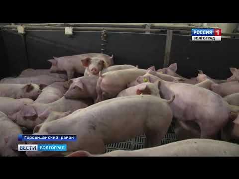 Специалисты Управления Россельхознадзора проводят проверки свиноводческих предприятий в Волгоградской области
