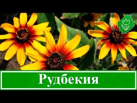 🌻 Рудбекия – посадка и уход: выращивание рудбекии из семян; виды и сорта рудбекии
