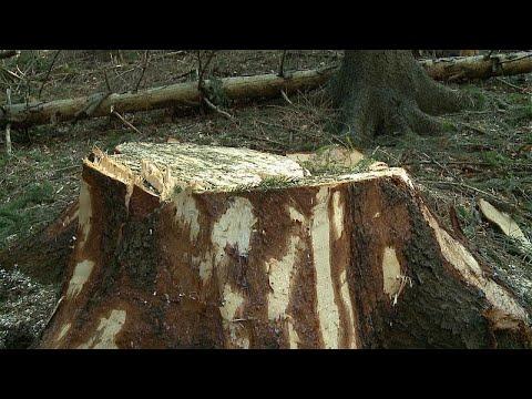 Ρουμανία: Μεγάλο σκάνδαλο με παράνομη υλοτομία και εμπόριο ξυλείας σε παρθένο δάσος…
