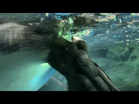 【海遊館】水面オウサマペンギン