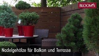Nadelgehölze für Balkon und Terrasse | BLOOM's Floristik