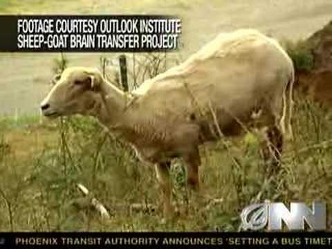 Vědci stvořili ovci s mozkem kozy