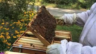 Beekeeping. Late season hive split success.