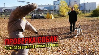 Внезапная атака на хозяина | Проверка собаки: Чехословацкий влчак Луна