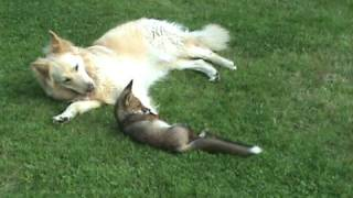 The real-life fox and hound: Dogs play with fox cub.