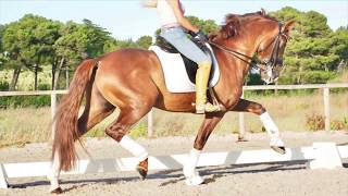SOLD ¡¡¡ Super PRE Horse With Piaffe, Passage, Pirouettes.