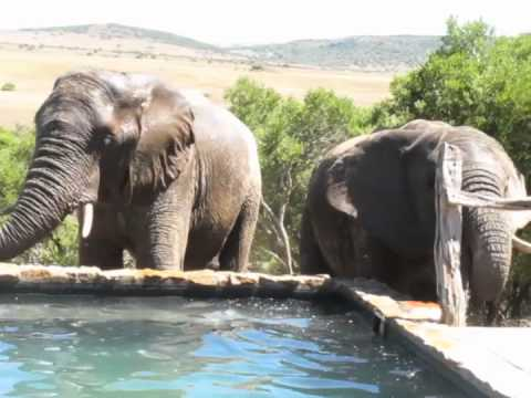 Elephants Frequent our Pool