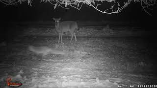 Red Fox and Whitetail Deer Visit