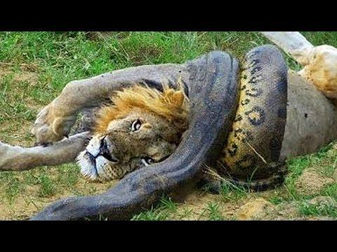 Wild Discovery Animals - Craziest Animal Fights Caught On Camera! Animals Documentary 2018