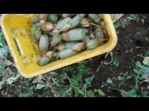 12月26聖護院大根とビタミン大根の収穫~有機農業の発熱限界とは