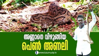 OMG! Female Viper feasts on a Squirrel | Vava Suresh | Snakemaster
