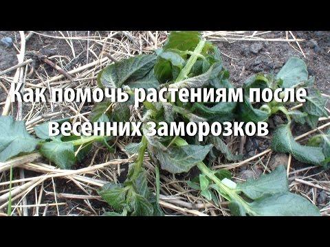 Как помочь растениям после весенних  заморозков