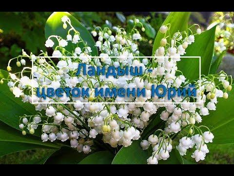 Цветок имени Юрий ландыш