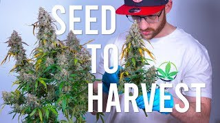 SEED TO HARVEST: BLUE DREAM AUTOFLOWER (BEGINNERS GUIDE)
