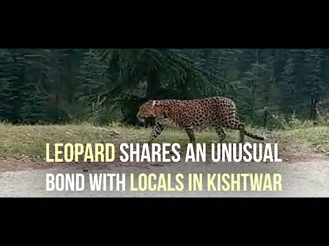 Leopard shares an unusual bond with locals in Kishtwar