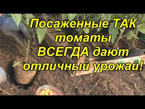 Высадка томатов - легко, просто и урожайно!!! Что положить в лунку при посадке томатов.