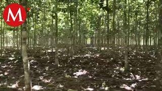 Plantación de árboles Teca   Conexión Milenio