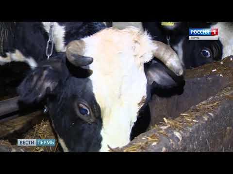 Концлагерь для коров: кооператив в Соликамске оштрафуют за грубое нарушение санитарных норм