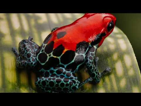 5 Cool Facts About Poison Dart Frogs Ep-2