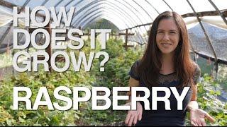 RASPBERRY | How Does it Grow?