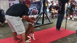 Solo Sporting Dog Hadirkan Acara Terbesar Kompetisi Pitbull pada Gelaran Pitbull Competitio