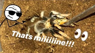 FEEDING my TARANTULAS these ANNOYING CRICKETS !!! ~ That's MINE !!!