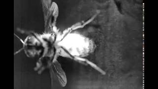 Visualizing flow generated by a fanning honeybee