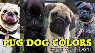 Types of Pug Dog Colors & their roles   Dog Lovers